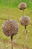 foto of spiky plants  - Close up of Leonotis leonurus Wild Dagga Plant - JPG