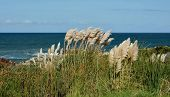 image of pampas grass  - Landscape with Pampas Grass on the coast - JPG