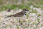 stock photo of killdeer  - Killdeer  - JPG