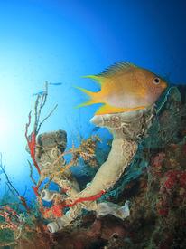 image of damselfish  - Damselfish and sponge on underwater coral reef - JPG