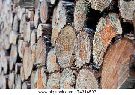 many sawed-off tree trunks in the forest