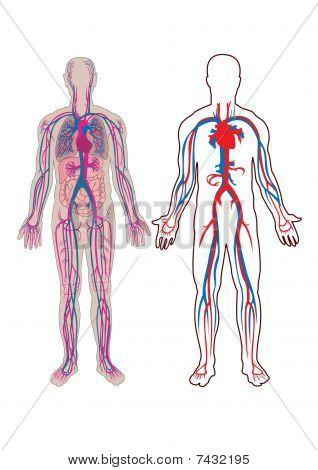 Human Vein In Vector