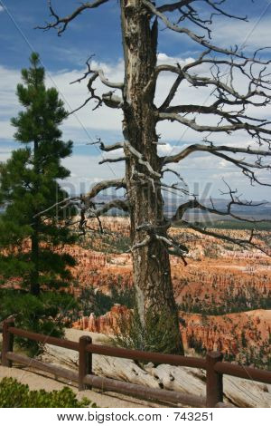 Bryce Point dueling trees, Bryce Canyon National Park