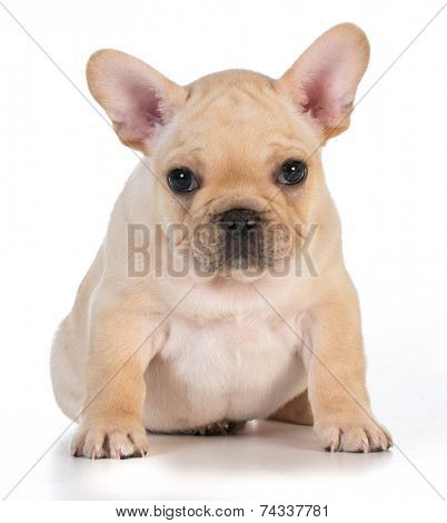 cute puppy - french bulldog puppy sitting looking at viewer - 7 weeks old