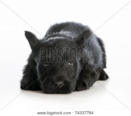 tired puppy - scottish terrier puppy laying down resting on white background
