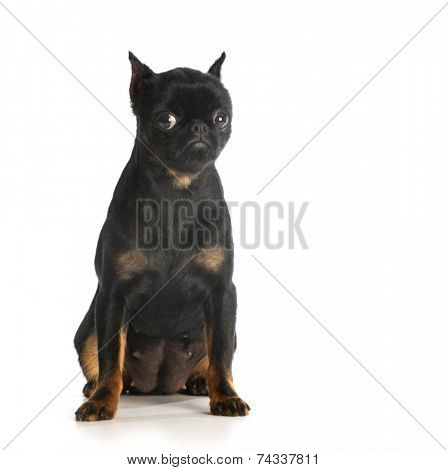 sad dog - brussels griffon with sad expression on white background