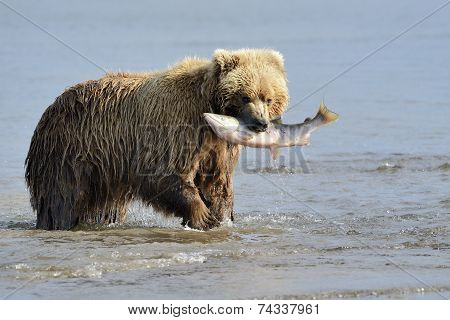 Grizzly Bear with caught salmon
