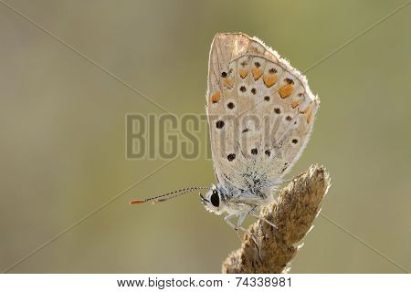 Pearly Heath butterfly