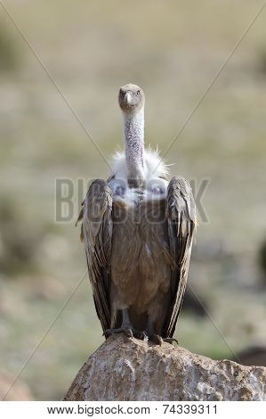 Griffon vulture standing on a rock.