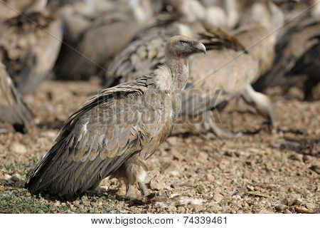 Griffon vulture on the ground.