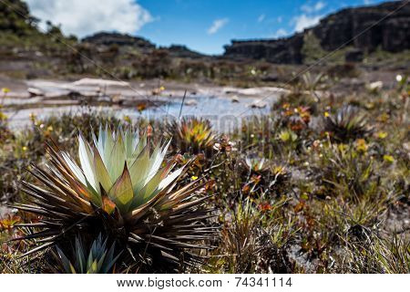 A Very Rare Endemic Plants On The Plateau Of Roraima - Venezuela