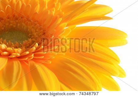 The gerbera flower isolated on white background