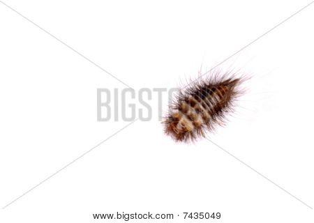 Larval form of Anthrenus flavipes (furniture carpet beetle)