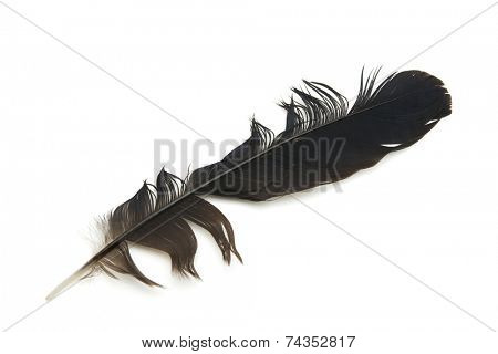 Representation of, unorganized, messy, un-groomed, or bad hair day  . A Black feather with ungroomed or disturbed feather ends, isolated on white.