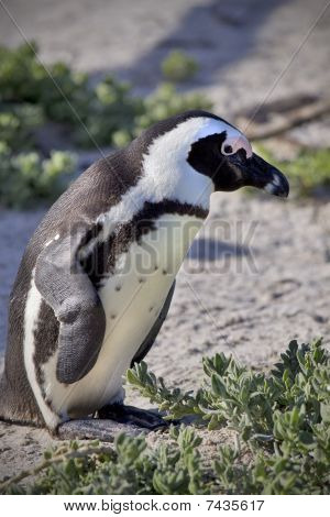 Close Up Of Penguin