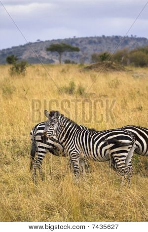 Zebra Standing In Field