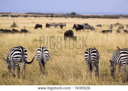 Grazing Zebras