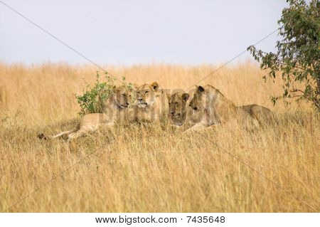 Group Of Female Lions