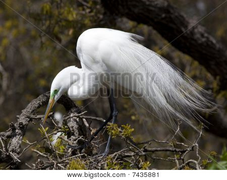 Great Egret In Tree