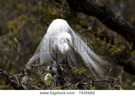 Great Egret In Tree Facing Front