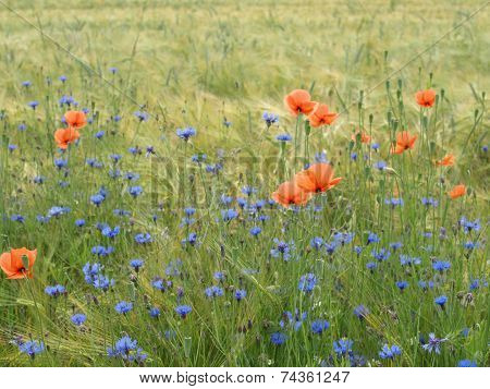 Barley field with wildflowers