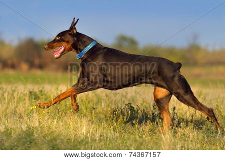 Doberman male run