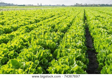 Long Rows Of Endive Plants In The Field