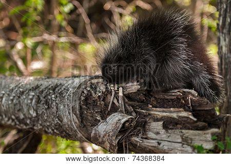 Baby Porcupine (erethizon Dorsatum) Sniffs At Branch