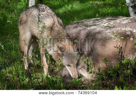 Mother Grey Wolf (canis Lupus) Works To Pick Up Pup