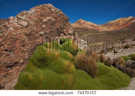 Green Plants in the Atacama Desert
