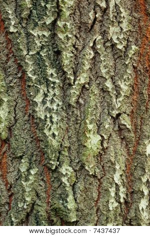 Background Of Bark Of White Poplar, Populus Alba, Closeup