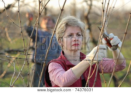 Agriculture, Pruning In Vineyard