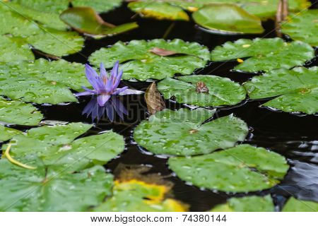 Purple Lotus with Green Lily Pads