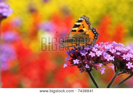 butterfly urticaria in profile sitting on a purple flower heliotrope macro