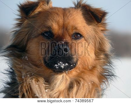 Pooch. The Muzzle Of The Red-haired Mongrel.