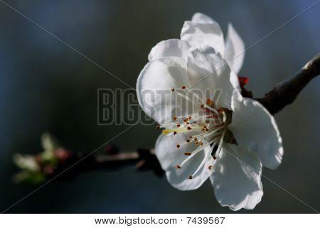 Blossom of apple-tree
