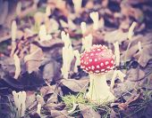pic of toadstools  - Vintage filtered picture of toadstool in forest - JPG