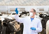 pic of vitro  - veterinarian looks for tests in vitro on the farm cows - JPG