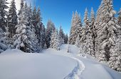 picture of snow forest  - Winter landscape - JPG