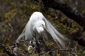 foto of splayed  - One Great Egret  - JPG