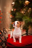 foto of jack russell terrier  - Dog Jack Russell Terrier at the Christmas tree - JPG
