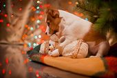 pic of jacking  - Dog Jack Russell Terrier at the Christmas tree - JPG