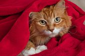 stock photo of snuggle  - Long haired ginger cat snuggled up and hiding in a red fleece blanket - JPG