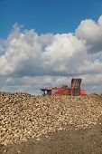 image of sugar industry  - Agriculture autumn time sugar beet root harvesting in field - JPG