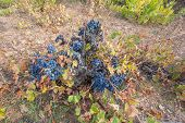 picture of neglect  - Wide angle view of neglected Vineyards with bunch of grapes - JPG