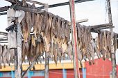 picture of halibut  - Greenland halibut drying on a wooden rack in Ilulissat - JPG