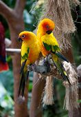 stock photo of sun perch  - Beautiful colorful parrots - JPG