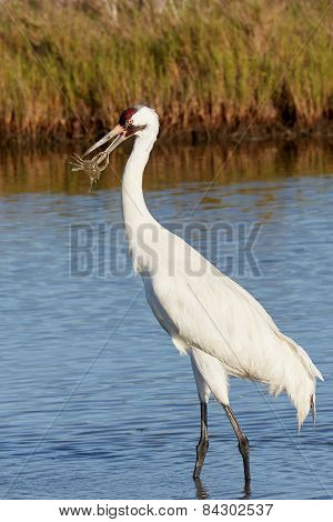 Whooping Crane with Crab Grabbing Its Beak