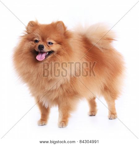 Pomeranian Dog Isolated On White Background, Cute Pet In Home