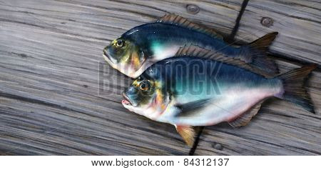 Two Blue Dorado Fish On Wooden Board Illustration